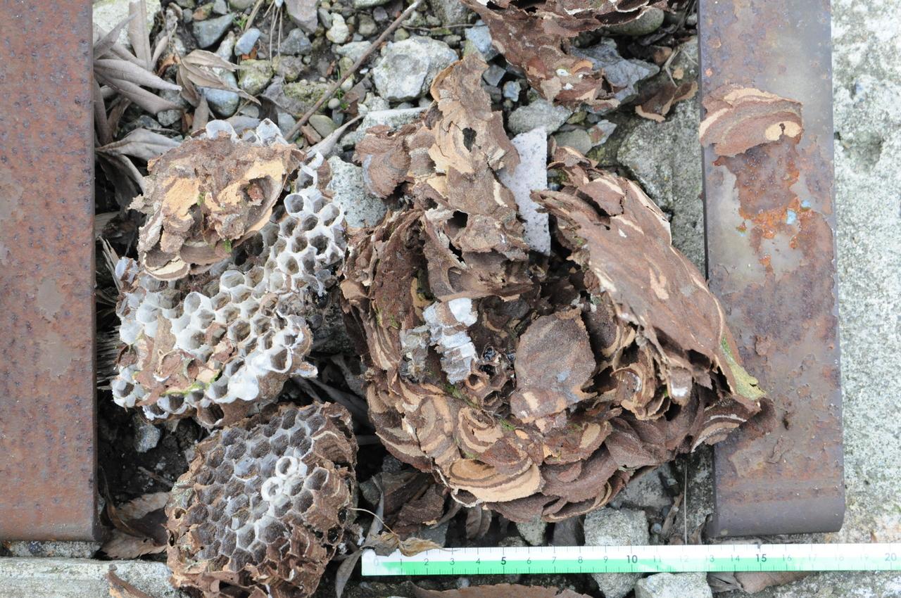 たたき落として壊れたスズメバチの巣の残骸