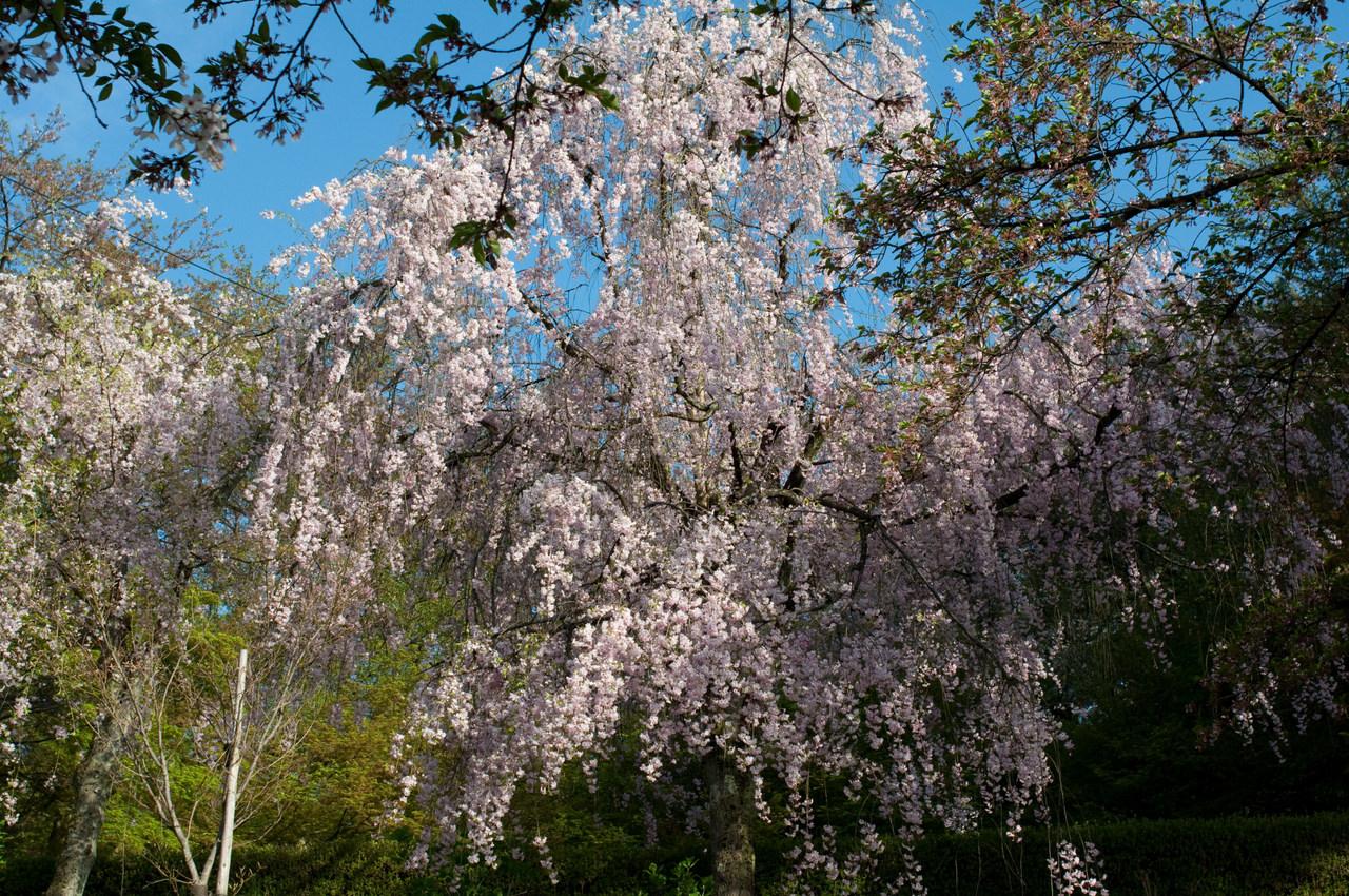 遅咲きのしだれ桜