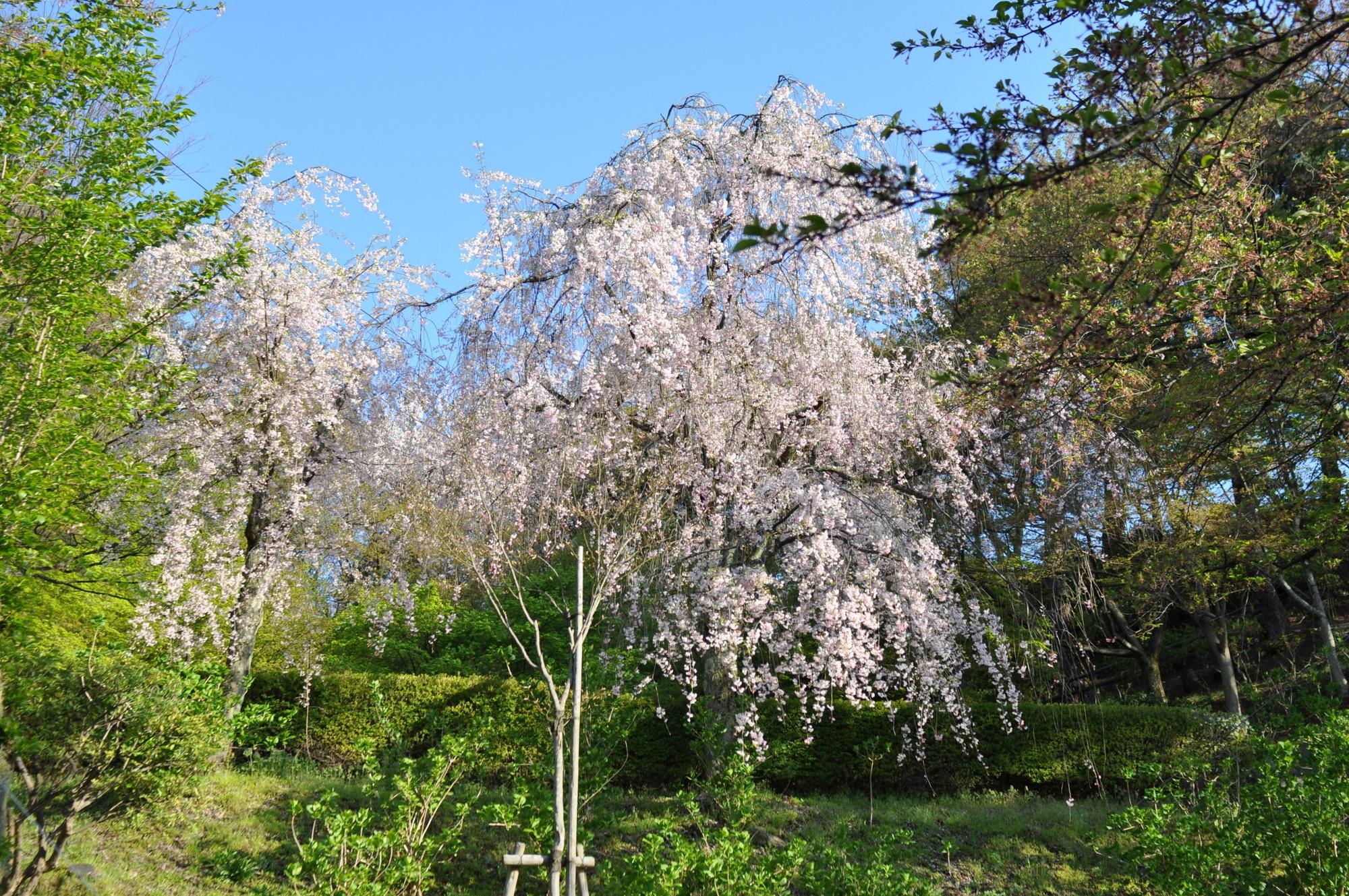 4月25日のしだれ桜
