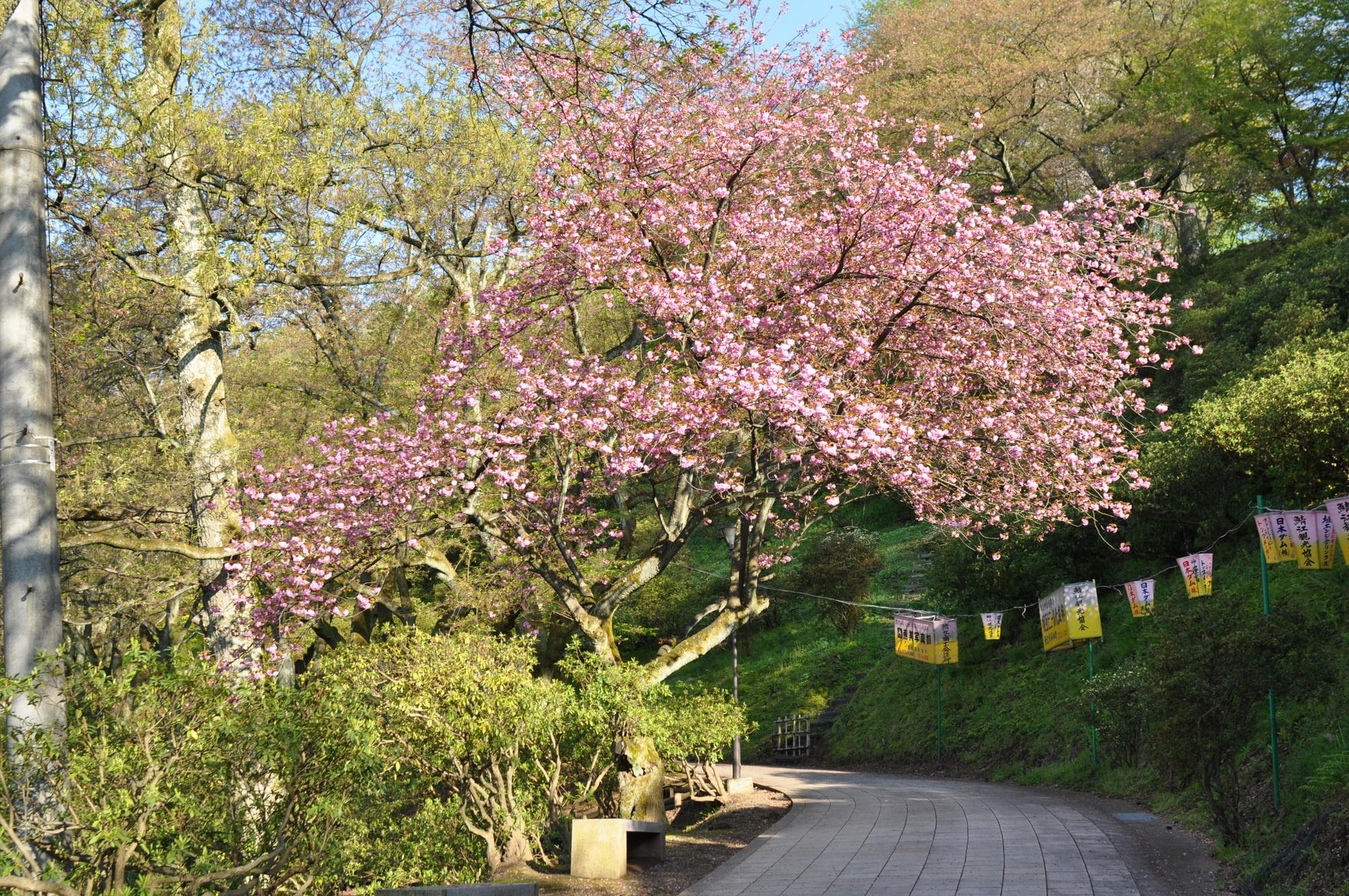 4月25日の八重桜