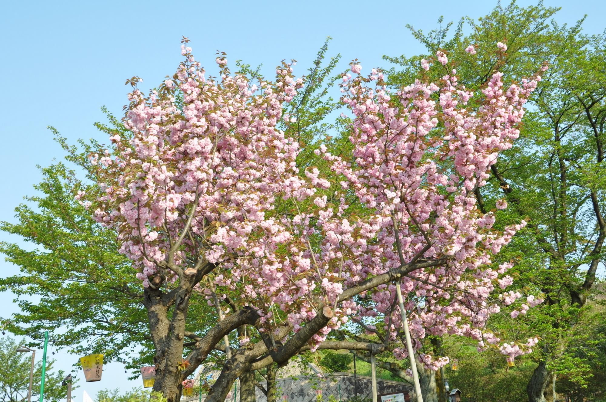 5月2日の八重桜