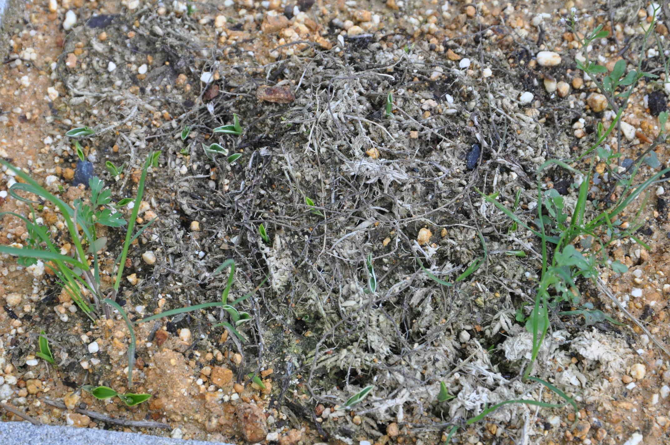 サギソウの芽